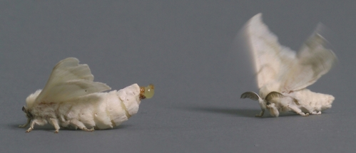 A FEMALE SILKWORM (left)  releases a sex pheromone from an extruded gland in the abdominal tip. A male moth (right) detects the pheromone (bombykol) remotely with neurons housed in antennal sensilla. He responds immediately by wing fanning and moving in a zigzag pattern toward the calling female. (Photo by Samuel Woo, UC Davis).