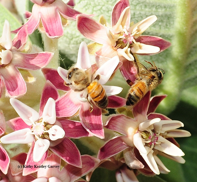 Honey bee (at right) perished when her foot got caught in the pollinia and she was unable to free herself. At left is a foraging bee. (Photo by Kathy Keatley Garvey)