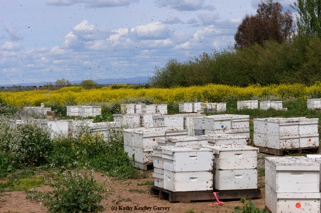 A sunny day in the apiary--this is one of the scenes at Olivarez Honey Bees, Orland, Calif., owned by Ray Olivarez. (Photo by Kathy Keatley Garvey)
