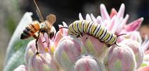 A tattered honey bee seeking nectar from a milkweed blossom encounters a monarch caterpillar. (Photo by Kathy Keatley Garvey) for Bug Squad Blog