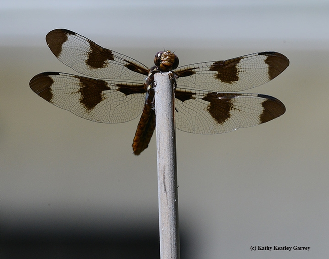 A female whitetail, Plathemis lydia, claims a bamboo stake. This dragonfly is often mistaken for a twelve-spotted dragonfly. (Photo by Kathy Keatley Garvey)