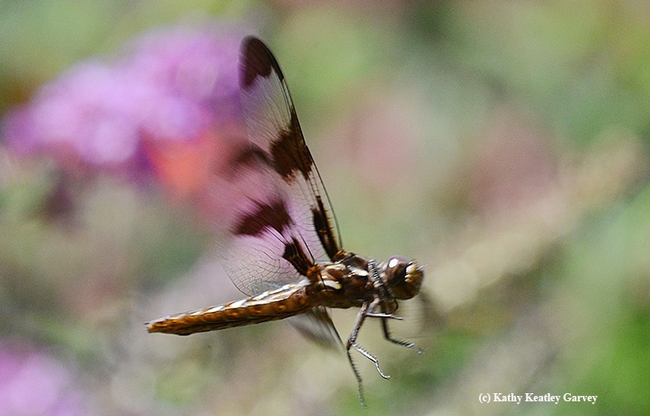 Caught in flight, the common whitetail dragonfly sails over the pollinator garden. (Photo by Kathy Keatley Garvey)