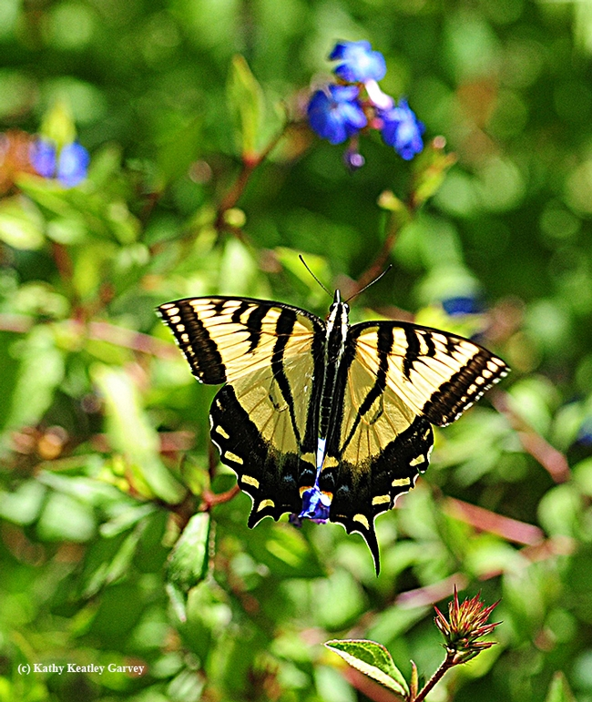 The Western tiger swallowtail (Papilio rutulus) approaches a plumbago in the Storer Garden, UC Davis Arboretum. (Photo by Kathy Keatley Garvey)