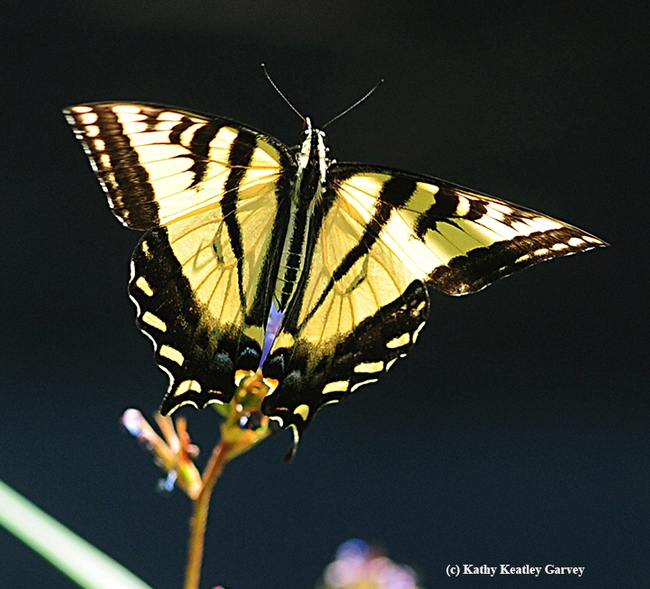 Up, up and away! The Western tiger swallowtail soars above the dwarf plumbago. (Photo by Kathy Keatley Garvey)