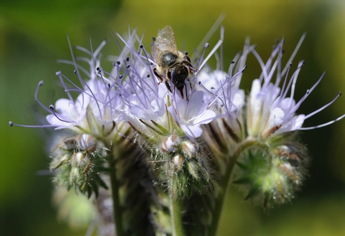 AGED BEE forages among the blossoms of the lacy phacelia (Phacelia tanacetifolia). This is considered one of the top 20 honey-producing flowers. (Photo by Kathy Keatley Garvey)