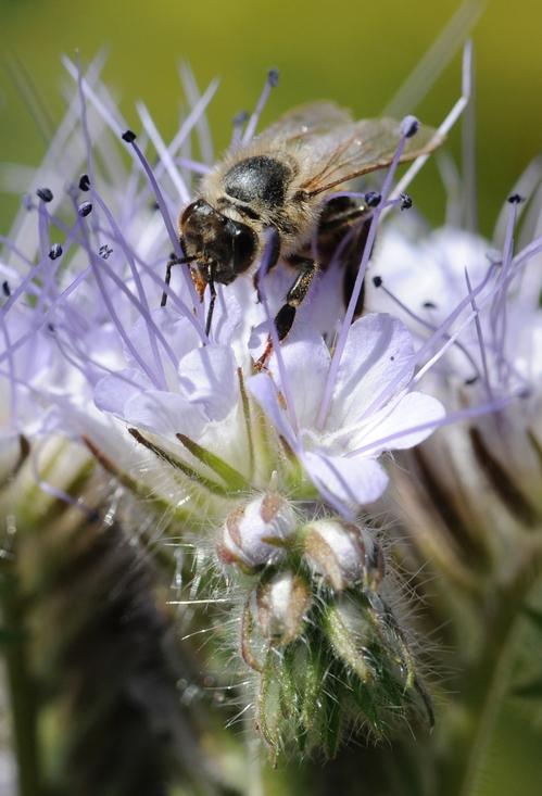 TONGUE EXTENDED, this aged honey bee gathers nectar from the lacy phacelia (Phacelia tanacetifolia). (Photo by Kathy Keatley Garvey)