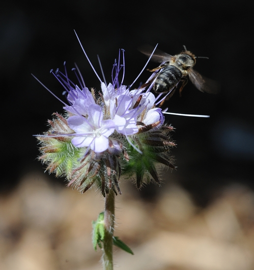 TAKING FLIGHT, the honey bee leaves the lacy phacelia (Phacelia tanacetifolia) to return to her hive. (Photo by Kathy Keatley Garrvey)