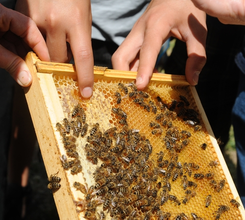 A HIGHLIGHT of the Antioch Charter Academy's tour of the Harry H. Laidlaw Jr. Honey Bee Research Facility: a taste of honey, straight from a frame. (Photo by Kathy Keatley Garvey)