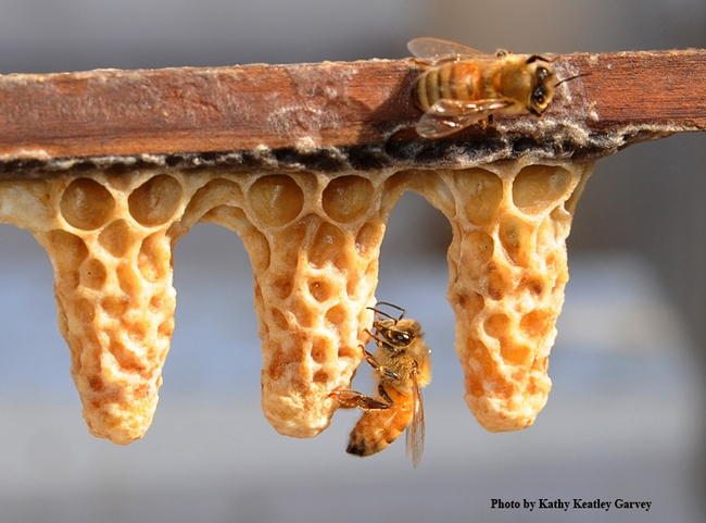 Worker bees and queen cells. (Photo by Kathy Keatley Garvey)