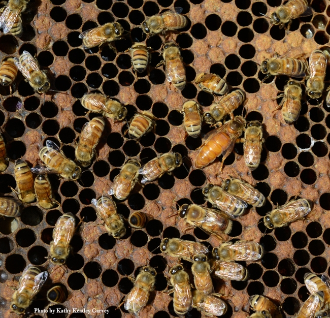 Find the queen! This photo of Italian honey bees was taken at  Jackie Burris-Parks Queens, Palo Cedro. (Photo by Kathy Keatley Garvey)