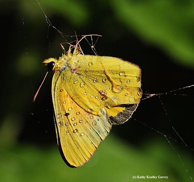 Alfalfa butterfly trapped in a spider web and doused by a sprinkler. (Photo by Kathy Keatley Garvey)