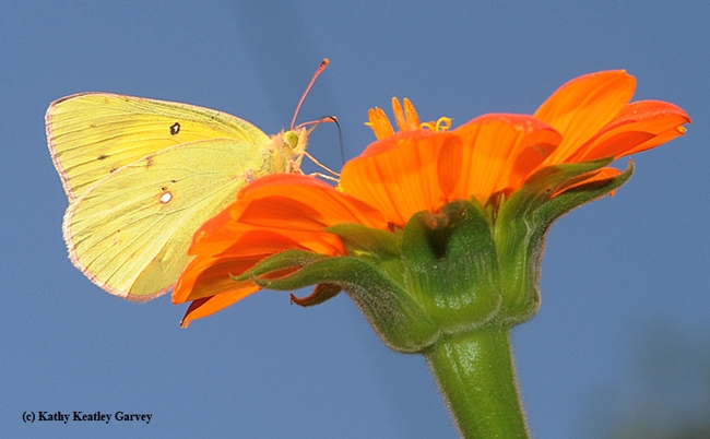 Alfalfa butterfly nectaring on a Mexican sunflower (Tithonia). (Photo by Kathy Keatley Garvey)