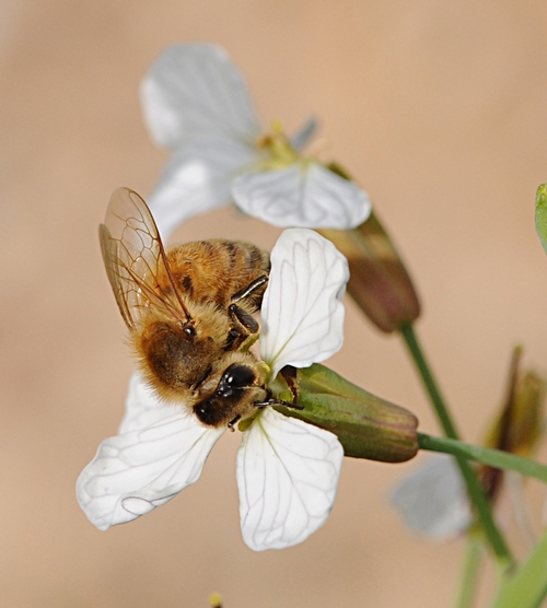 HONEY BEE working a wild radish. (Photo by Kathy Keatley Garvey)