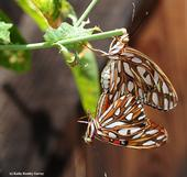 Gulf Fritillaries mating in the passionflower vine. (Photo by Kathy Keatley Garvey)