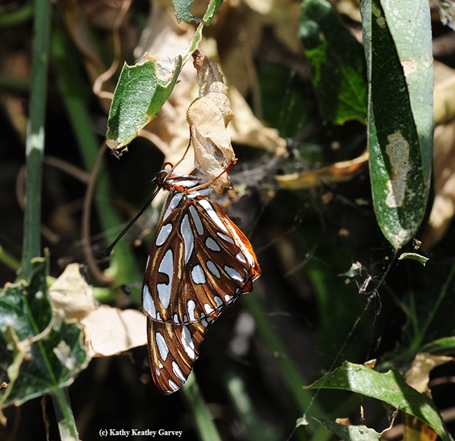A newly eclosed Gulf Fritillary hangs onto its chrysalis. (Photo by Kathy Keatley Garvey)