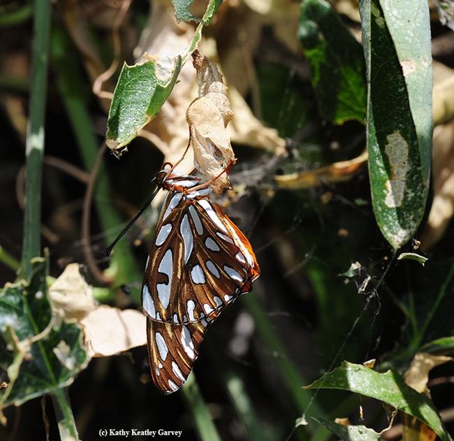 A newly eclosed Gulf Fritillary hangs onto its chrysalis. (Photo by Kathy Keatley Garvey)