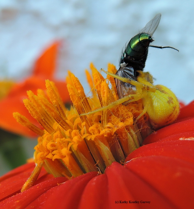 A crab spider, on a Mexican sunflower, eating a green bottle fly. (Photo by Kathy Keatley Garvey)