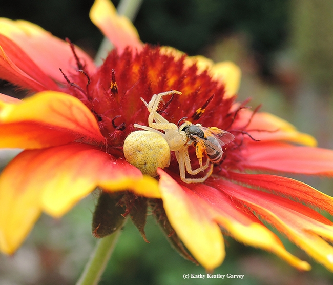 A crab spider, on a blanketflower, eating a female Halictus tripartitus, as identified by Robbin Thorp, UC Davis distinguished professor of entomology. (Photo by Kathy Keatley Garvey)