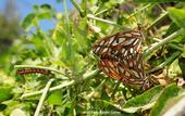 This photo of Gulf Fritillary adults and a caterpillar helps illustrate the article on the Medical College of Wisconsin website. Bruce Hammock's basic research on how caterpillars become butterflies led to discoveries on chronic pain. (Photo by Kathy Keatley Garvey)
