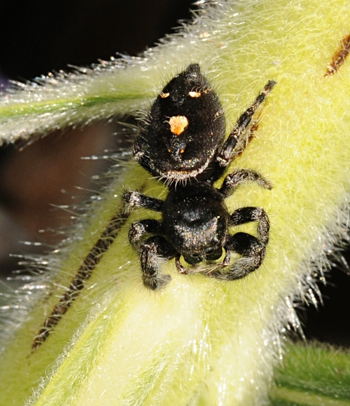 JUMPING SPIDER caught in the act of crawling. (Photo by Kathy Keatley Garvey)