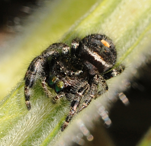 JUMPING SPIDER is characterized by its iridescent green chelicerae or mouthparts. (Photo by Kathy Keatley Garvey)