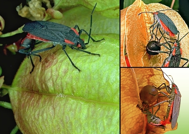 Soapberry bugs, Jadera haematoloma. (Photos by entomologist and soapberry expert Scott Carroll of UC Davis)
