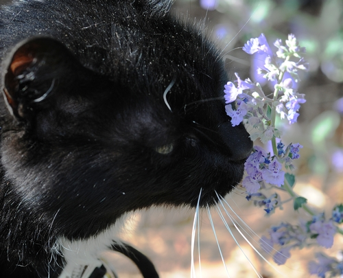 Cat Sniffing Catmint