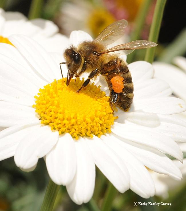 Honey bee foraging on a daisy. (Photo by Kathy Keatley Garvey)