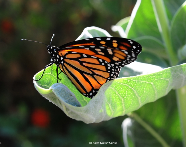 Those on the UC Davis butterfly tour on Sept. 18 may spot monarch butterflies on mlkweed. (Photo by Kathy Keatley Garvey)