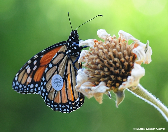 Where am I? A tagged male monarch butterfly, released from Ashland, Ore., perches on the head of a Mexican sunflower (Tithonia) in Vacaville, Calif., on Sept. 5, 2016. (Photo by Kathy Keatley Garvey)