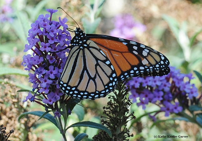 WSU-tagged monarch sipping nectar from a butterfly bush in Vacaville, Calif. The tag, invisible in this photo, is on the other side. (Photo by Kathy Keatley Garvey)