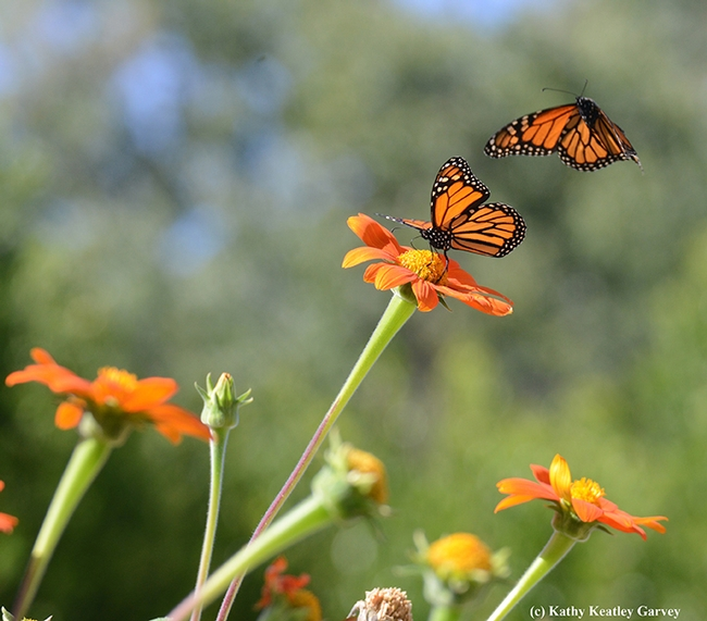 First in series of four photos: Two monarch butterflies meeting in a Tithonia patch in Vacaville, Calif. (Photo by Kathy Keatley Garvey)