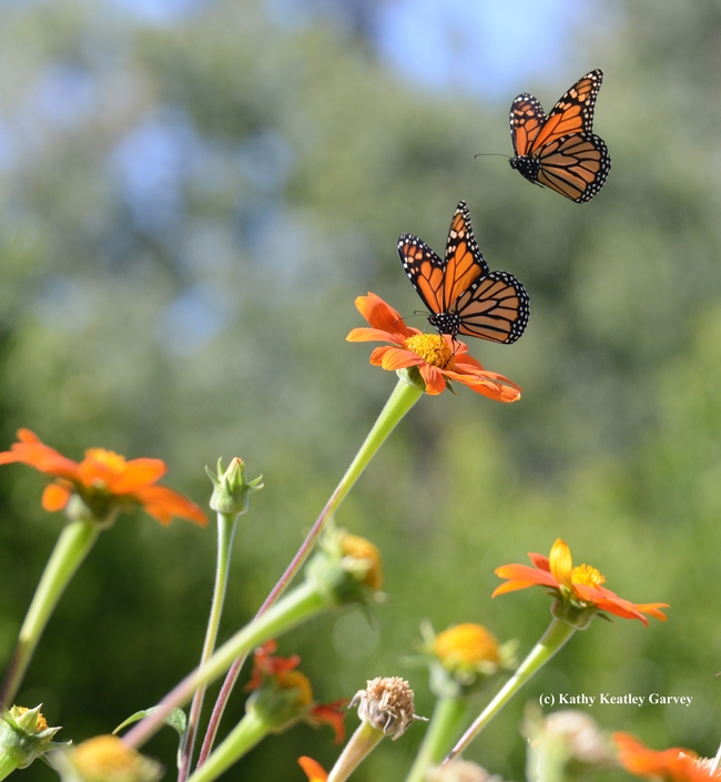 Second in series of four photos: Two monarch butterflies, one nectaring, one investigating. (Photo by Kathy Keatley Garvey)