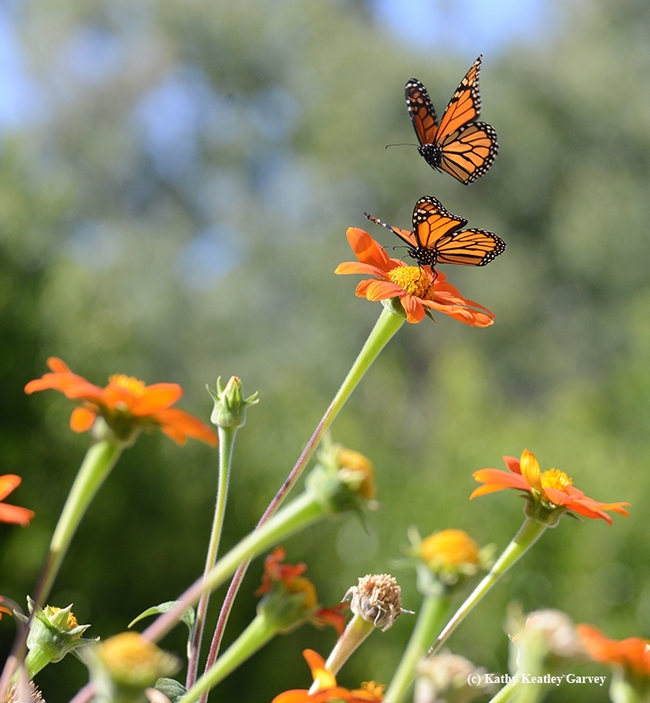 Third in series of four photos: two monarch butterflies interacting in the Tithonia patch. (Photo by Kathy Keatley Garvey)
