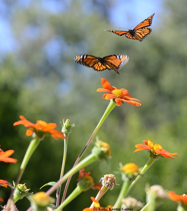 Fourth in series of four photos: Two monarch butterflies taking  flight. (Photo by Kathy Keatley Garvey)