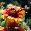 Honey bees sipping nectar from a blanketflower (Gaillardia), while another bee buzzes in. (Photo by Kathy Keatley Garvey)