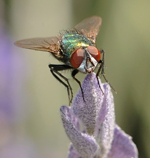 A BLOW FLY lands on the tip of lavender. (Photo by Kathy Keatley Garvey)