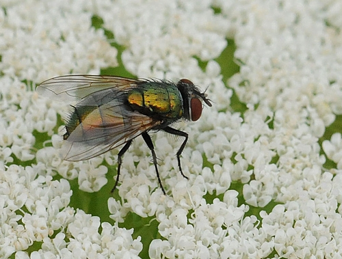 THE BLOW FLY can be a pollinator, too. (Photo by Kathy Keatley Garvey)