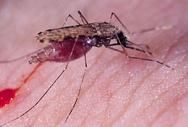 The malaria mosquito, Anopheles gambiae. Evolutionary ecologist Scott Carroll and colleagues point to a World Health Organization paper indicating that malaria is one of the diseases that