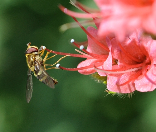 SYRPHID FLY, aka flower fly, sips nectar from a tower of jewels. (Photo by Kathy Keatley Garvey)