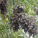 Roosting or overwintering monarchs in the Berkeley Aquatic Park on Nov. 30,2015. No tagged monarchs are visible. (Photo by Kathy Keatley Garvey)