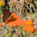An unsuspecting monarch lands next to a Mexican sunflower occupied by a predator, a praying mantis. (Photo by Kathy Keatley Garvey)