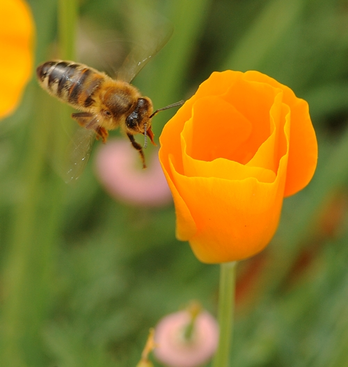 HONEY BEE, tongue extended, heads for a California golden poppy in the UC Davis Campus Buzzway.  The Campus Buzzway is planted with poppies, lupine and coreopsis. (Photo by Kathy Keatley Garvey)