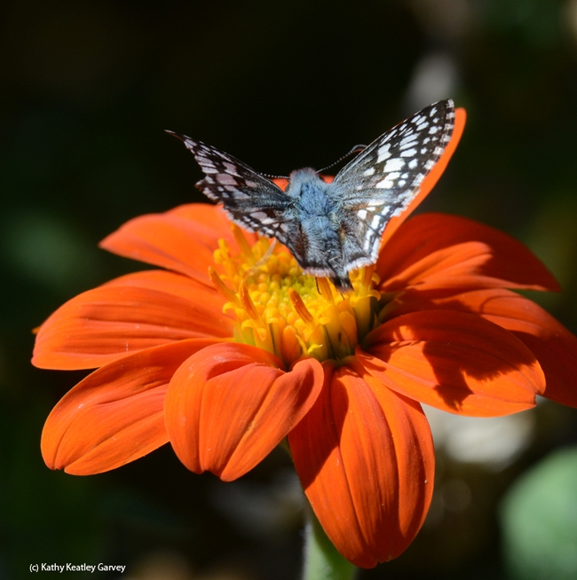 Common checkered skipper, Pyrgus communis, leaving the Mexican sunflower (Tithonia). (Photo by Kathy Keatley Garvey)