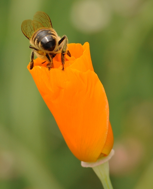 READY FOR FLIGHT, a honey bee crawls over the petals of a poppy. (Photo by Kathy Keatley Garvey)