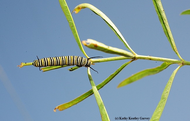 A monarch caterpillar outlined against the blue sky in Vacaville, Calif. (Photo by Kathy Keatley Garvey)