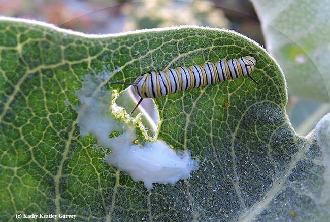 A monarch caterpillar making the most of it on a broadleaf milkweed, Asclepias speciosa, in Vacaville, Calif. (Photo by Kathy Keatley Garvey)