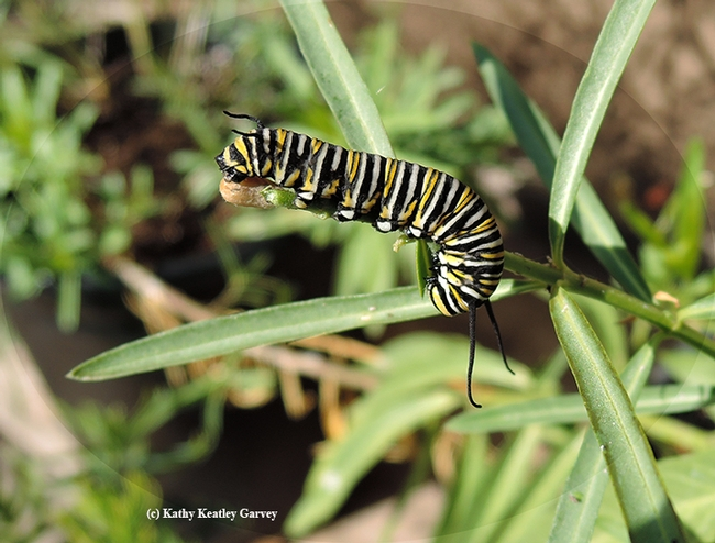 Some of the monarch caterpillars are darker than others. (Photo by Kathy Keatley Garvey)