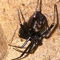 This is a female false black widow, Steatoda grossa, photographed in Davis, Calif. and released. (Photo by Adrienne Austin-Shapiro)