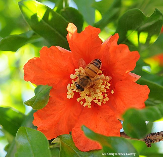 A honey bee pollinating a pomegranate blossom. (Photo by Kathy Keatley Garvey)